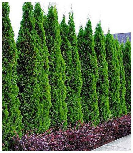 Smaragd Lebensbaum