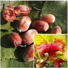 Haselnuss Rote Zellernuss