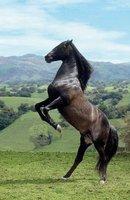 Clementoni Schwarzes Pferd (1000 Teile)