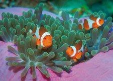 Clementoni Clownfische