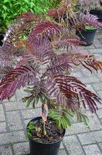 Albizia julibrissin Seidenbaum Mimosengewächs winterhart 001C
