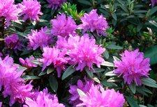 Zwerg-Rhododendron