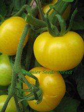 Tomatensamen